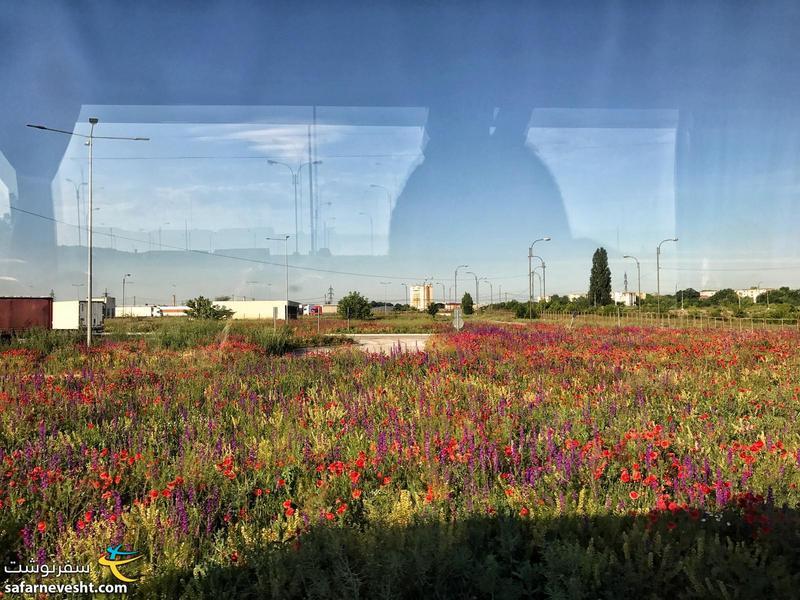دشت های گل در کنار پل دوستی بلغارستان و رومانی